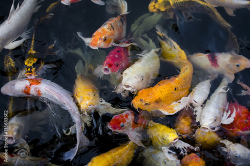 Koi fish colorful fancy fish closeup swimming at pond for Colorful pond fish