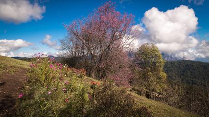 Cherry Blossom with blue sky