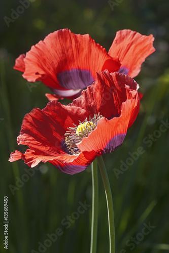 Opium Poppy Papaver Somniferum Called Garden Poppy Also Another