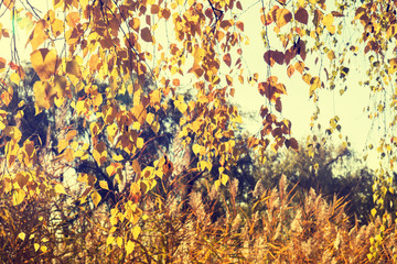 Autumn leaves sky background. Autumn birch trees branch with yellow leaves in vintage color