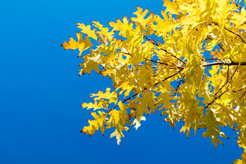 Autumn leaves sky background. Autumn maple trees branch with yellow leaves on blue sky background