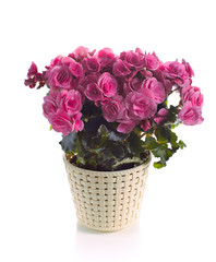 pink begonia in pot