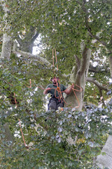 Tree surgeon wearing safety harness pruning copper beech tree branch
