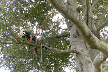 Tree surgeon wearing safety harness pruning copper beech tree branch with saw