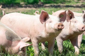Rosa Schweinchen auf der grünen Wiese-Bioschweine