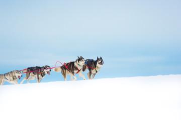 Hunde im Schlittenhunderennen