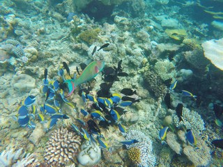 Group of fishes: parrot and surgeon fishes in the Maldives
