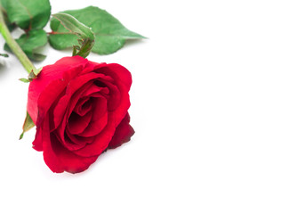 Closeup red rose color on white background, love and romantic co