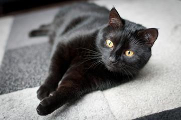 Fototapeta Czarny kot leży na biało czarnym dywanie obraz