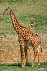 Mother Giraffe and Child