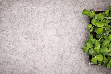 Sweet pea plant leaves in pot on rustic background. Healthy eati