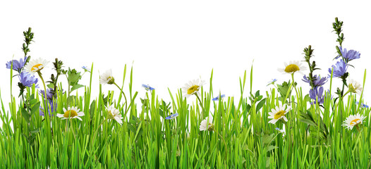 Grass and daisy flowers row