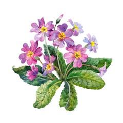 Blooming primrose. Watercolor.