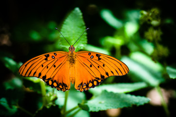 Orange butterfly with open wings on a green leaf.