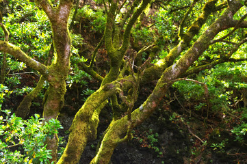 The Garoe tree, the sacred tree of the ancient inhabitants of the island. El Hierro, Canary Islands, Spain