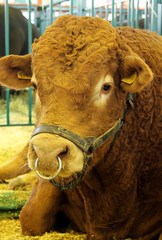 Limousin bull at an agricultural show