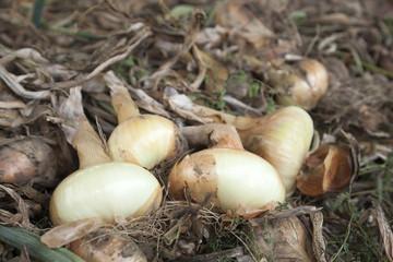 Onion Organic
