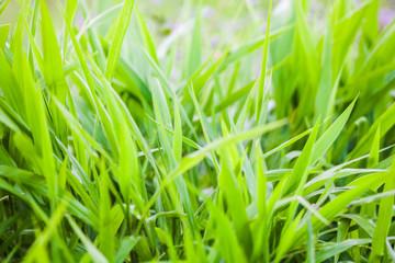 Green grass close up view for blur background texture