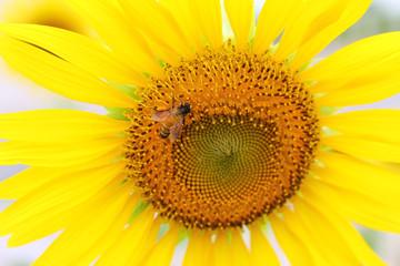 Beautiful Sunflower and bee.