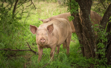 Pig in forest with a dirty mouth - Foraging domestic pig organic farming