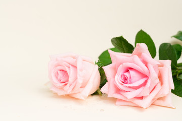 Two pink blooming fresh roses with copy space