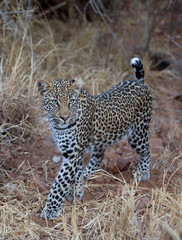 leopard, panthera pardus, Kruger national park, South Africa