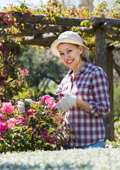 Elderly woman gardening pink roses .