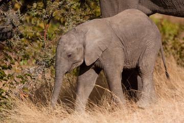 african bush elephant, loxodonta africana, Kruger national park, South Africa