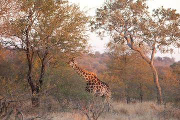 South african giraffe, cape giraffe,giraffa giraffa giraffa, Kruger national park