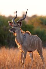 greater kudu, tragelaphus strepsiceros, Kruger national park, South Africa