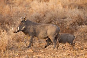 common warthog, phacochoerus africanus, South Africa, Kruger national park
