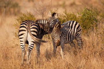 plains zebra, equus quagga, equus burchellii, South Africa, Kruger national park