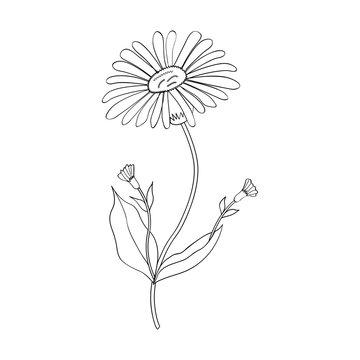 Arnica. Vintage medicinal herb sketch. Botanical plant illustration, isolated.