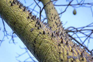 The silk floss tree with thorny trunk