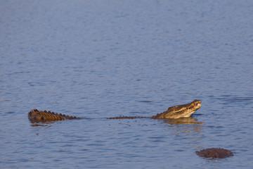 nile crocodile, crocodylus niloticus, Kruger national park, South Africa