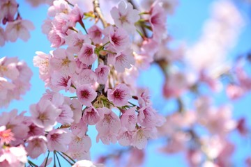 Japanese Cherry blossoms under blue sky which bloom early - Prunus kanzakura