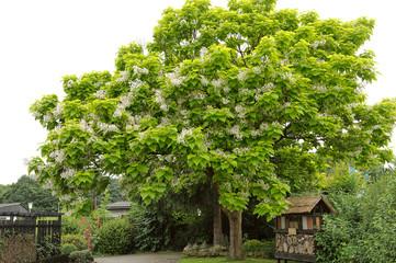 Tree with large white flowers Catalpa Bignonioides