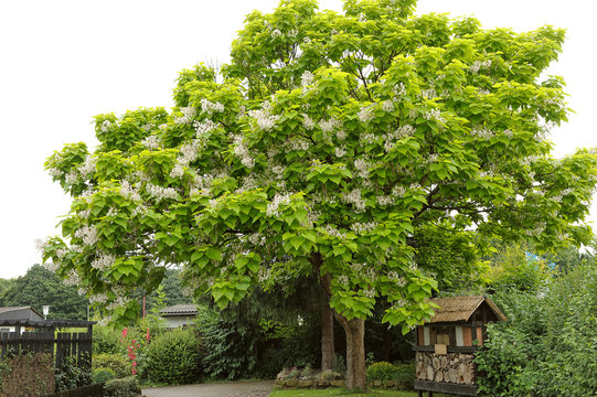 Tree with large white flowers Catalpa Bignonioides