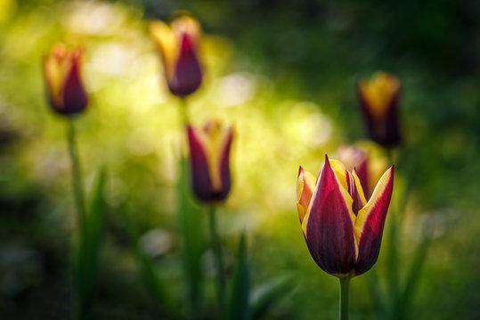 tulip with stripe on shady glade