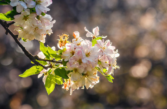 flowers of apple tree on a bulr background