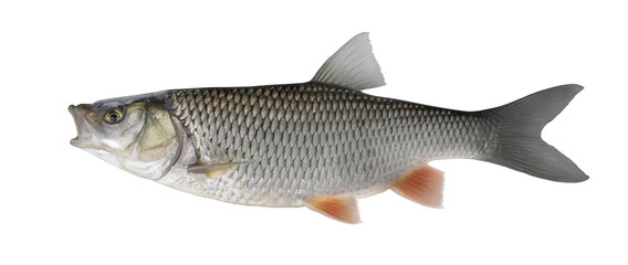 Chub fish isolated on white