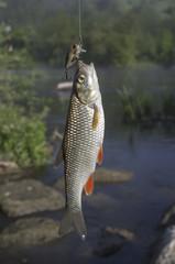 Chub fish on hook