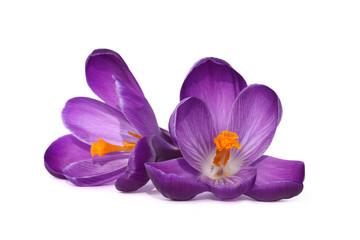 Fleurs de crocus violet
