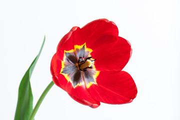 Red tulip on white background, floral wallpaper