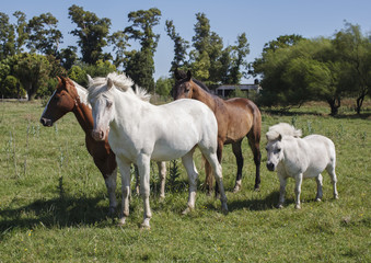 Three horses and one pony at the meadow