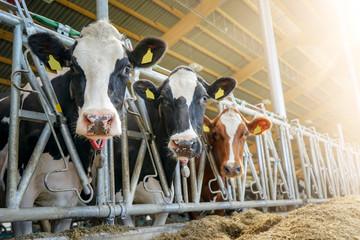 Neugierige Milchkühe im Offenstall, Sonnenstrahlen