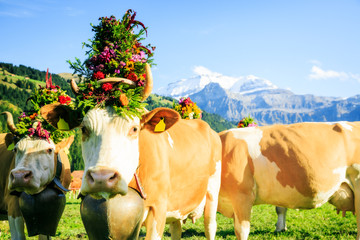 Cows Decorated For The Aelplerfest