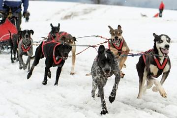 Wall Mural - musher hiding behind sleigh at sled dog rac