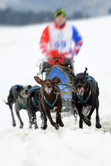 Fototapete - musher hiding behind sleigh at sled dog rac