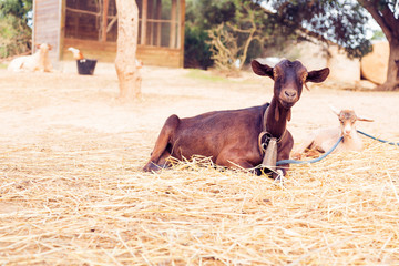 Goat On Ranch